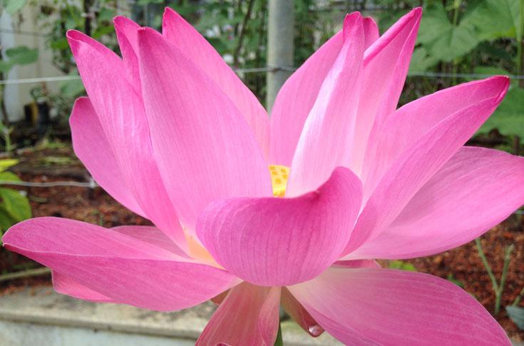 balinese lotus flower