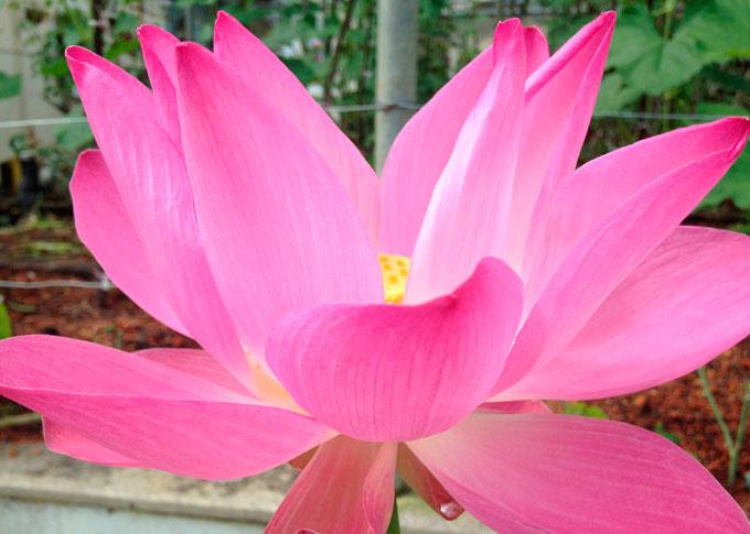 bali lotus flower
